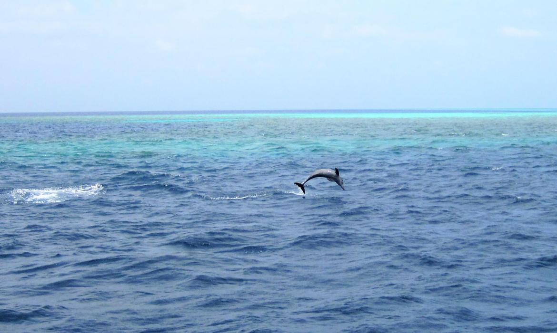 Dauphins aux Maldives