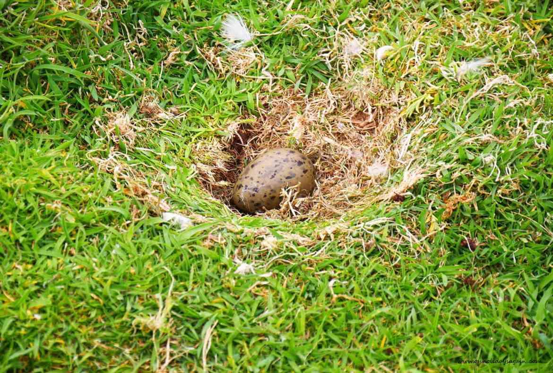 Oeuf d'un oiseau sur l'Ile de May en Ecosse