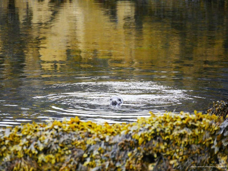 Phoque dans la Mer du Nord à l'Ile de May en Ecosse