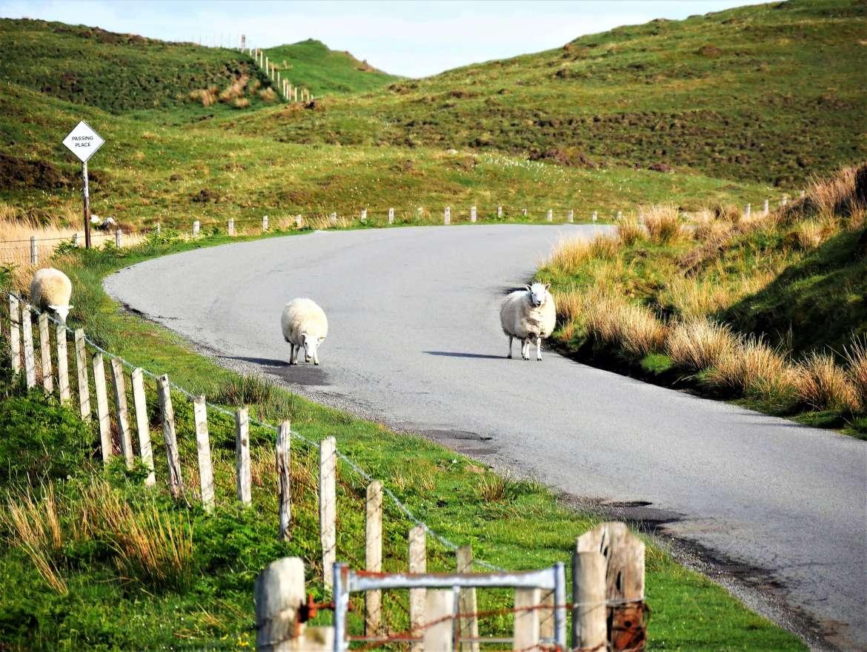 Un road trip en Ecosse c'est la liberté pour les moutons