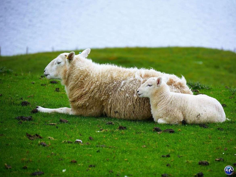 Visiter l'ile de Skye c'est découvrir des moutons et les agneaux