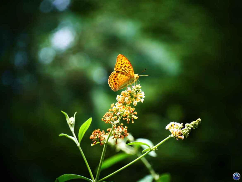 Papillon dans le Jardin de la Cude aux alentours de Luxeuil-les-Bains dans les Vosges du Sud