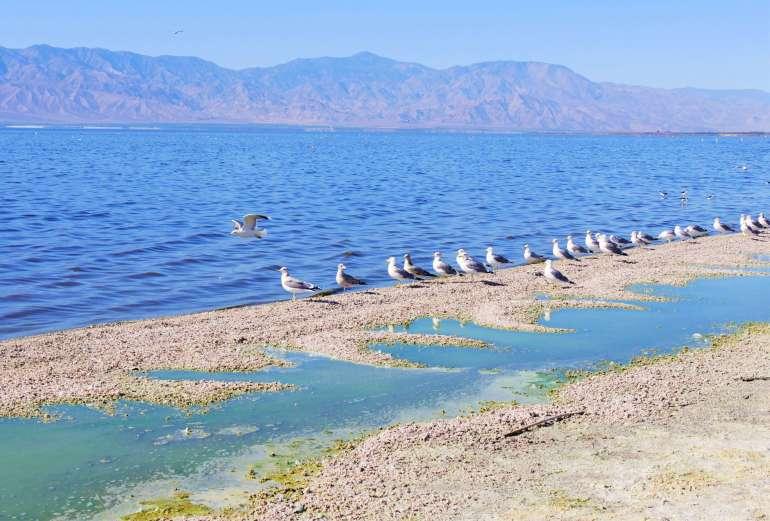 Oiseaux au Salton Sea en Californie du Sud