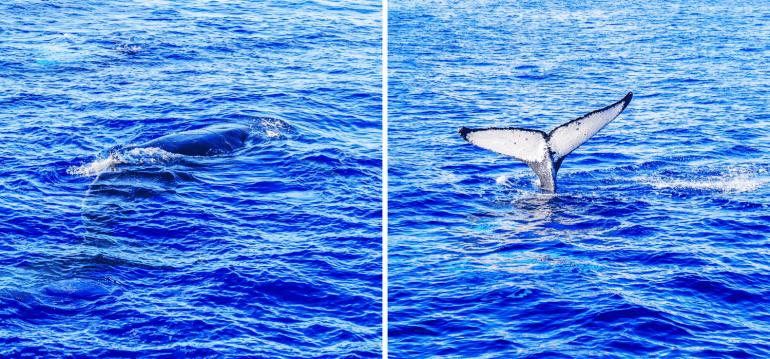 Observer les baleines à bosse à Maui
