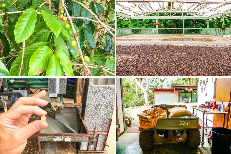 Plantation de café de Big Island
