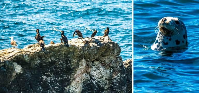 Phoque et oiseaux marins Cornouailles
