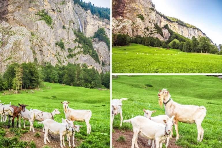 Chèvres randonnée Lauterbrunnen