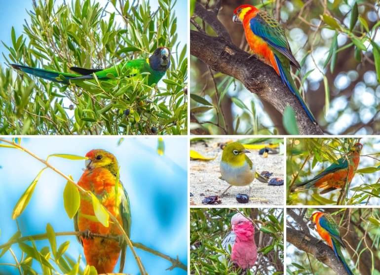 Oiseaux côte ouest Australie