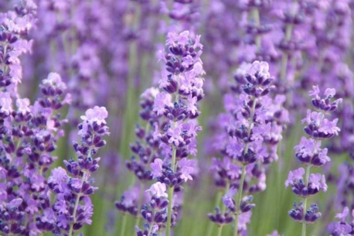 Betty's Blue English Lavender