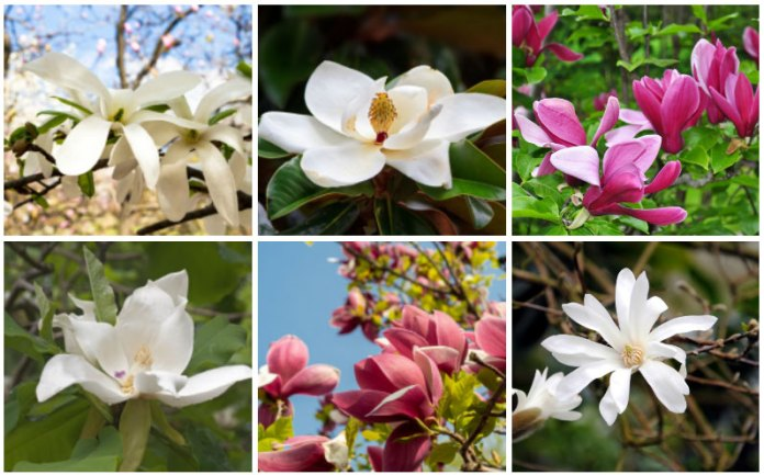 Different Varieties of Magnolias