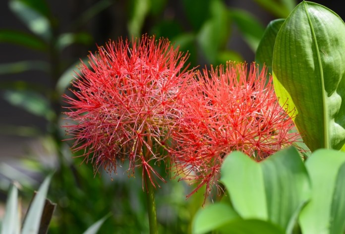 Blood-Lily