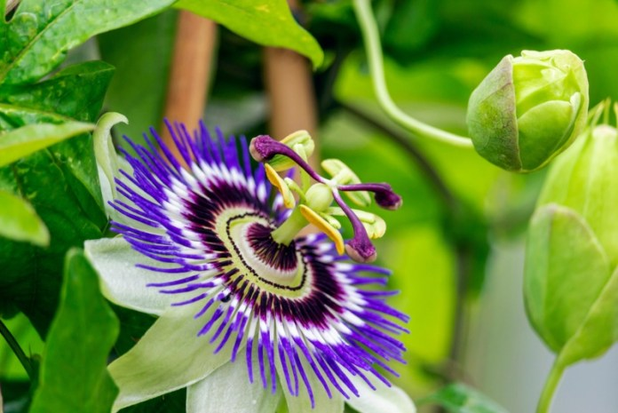 Purple-Passionflower