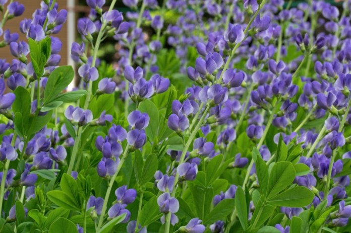 Blue-False-Indigo