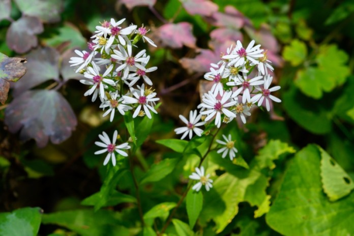 White-Wood-Aster