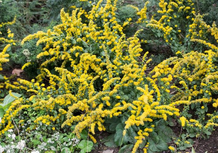 Goldenrod 'golden-fleece'