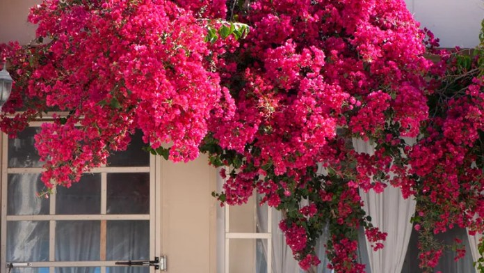 Red Bougainvilleas