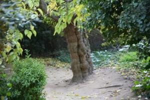"Árbol de ""mi"" jardín secreto"" en Piña rosa, Blanes."