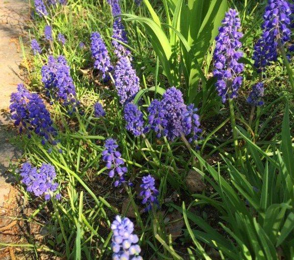 5月前半、札幌で良く見かける花