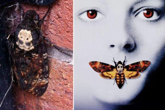Main-Bat-moth