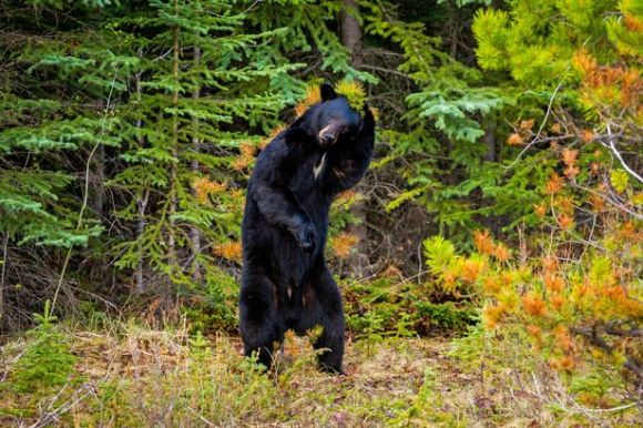 PAY-American-black-bear-pulls-off-the-famous-John-Travolta-dance-move2
