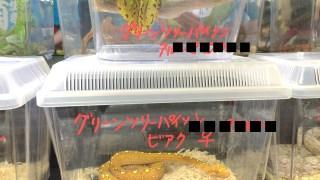【ナゴレプまとめ②】ヘビ祭り!名古屋を食い散らかしたパイソン達