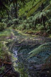 redwood_forest_rotorua