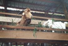 Panduan lengkap memulakan penternakan kambing