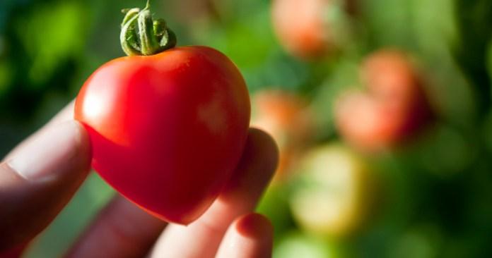 Выращивание томатов вполне сочетается с майнингом биткоинов