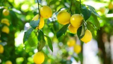 The cheapest fruits found in the lime world
