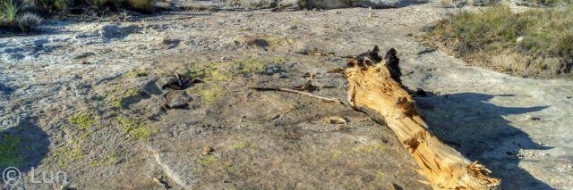Fallen tree in the desert