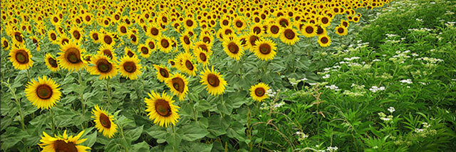 France-Sunflowers