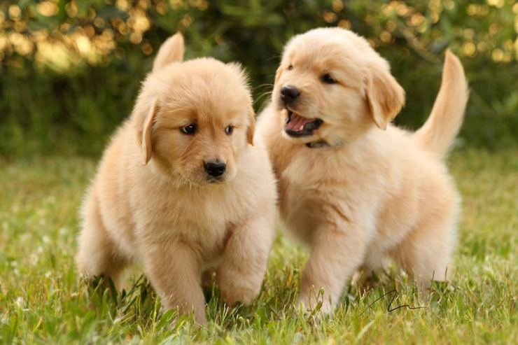 What is the perfect diet for your English cream Golden Retriever? 1
