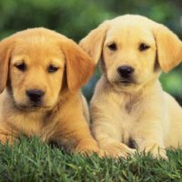 What is the perfect diet for your English cream Golden Retriever?