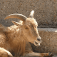 The Essential of Aoudad Sheep Hunting 6