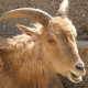 The Essential of Aoudad Sheep Hunting 14