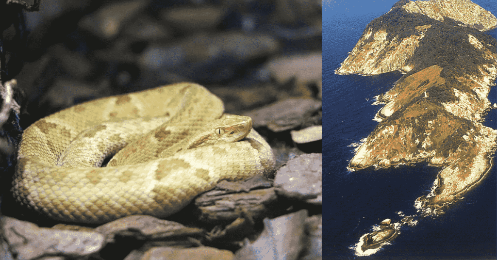 Snake Island: Where snakes evolved differently