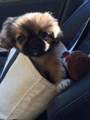 cute-puppy-in-bag