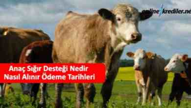 Photo of Anaç Sığır Desteği Nedir Nasıl Alınır Ödeme Tarihleri