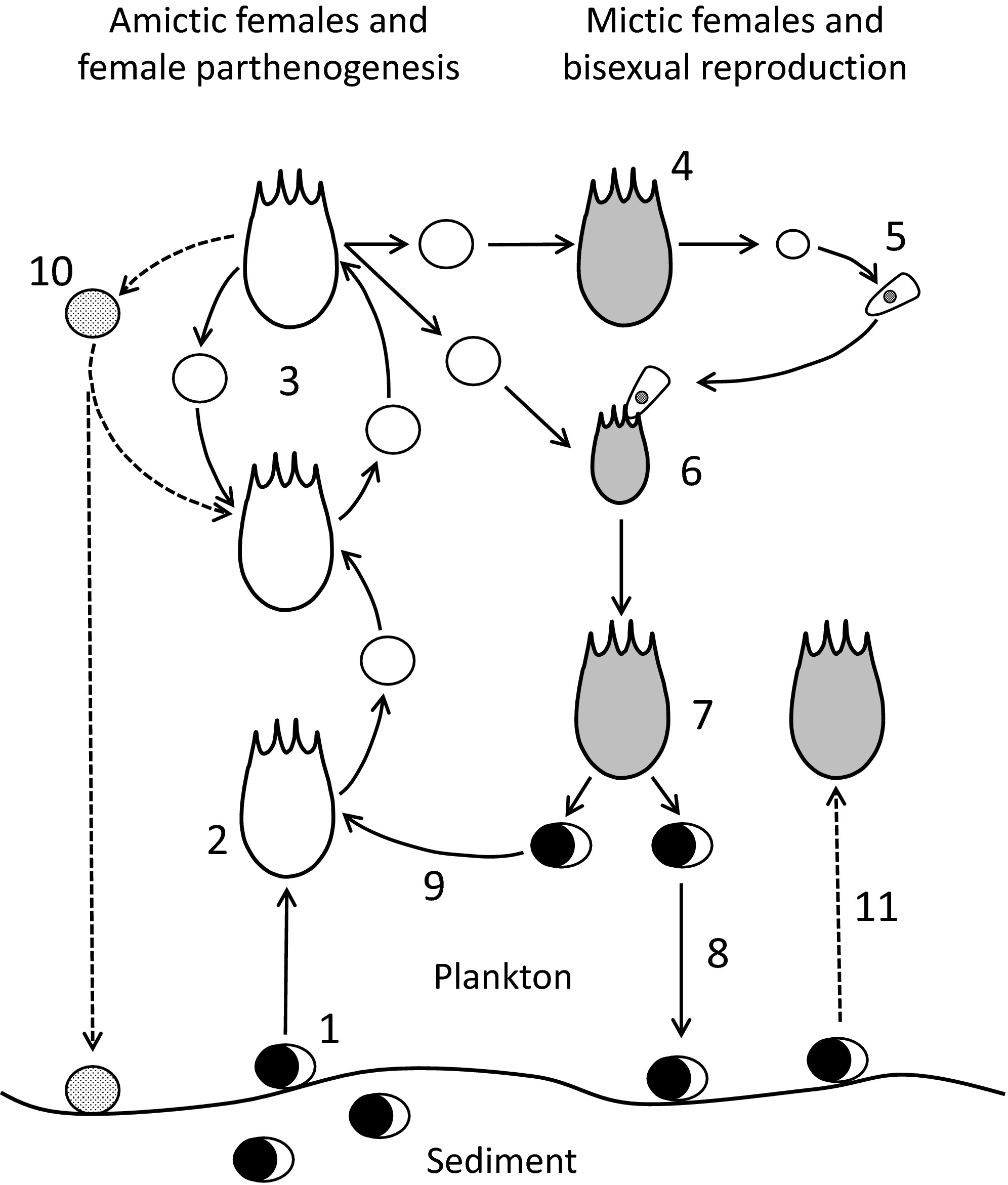 Variation In The Life Cycle Of Monogonont Rotifers