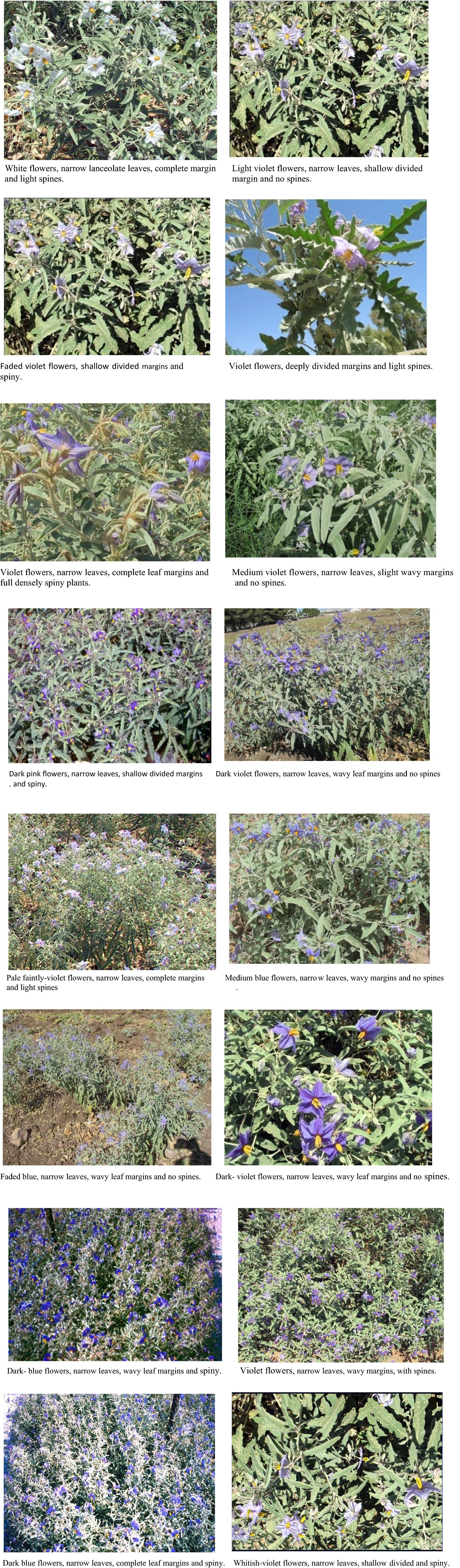 Genetic Diversity Of Solanum Elaeagnifolium An Invasive