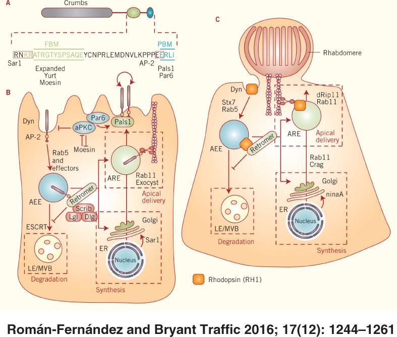 Red Blood Cell Derived Nanoerythrosome For Antigen Delivery With