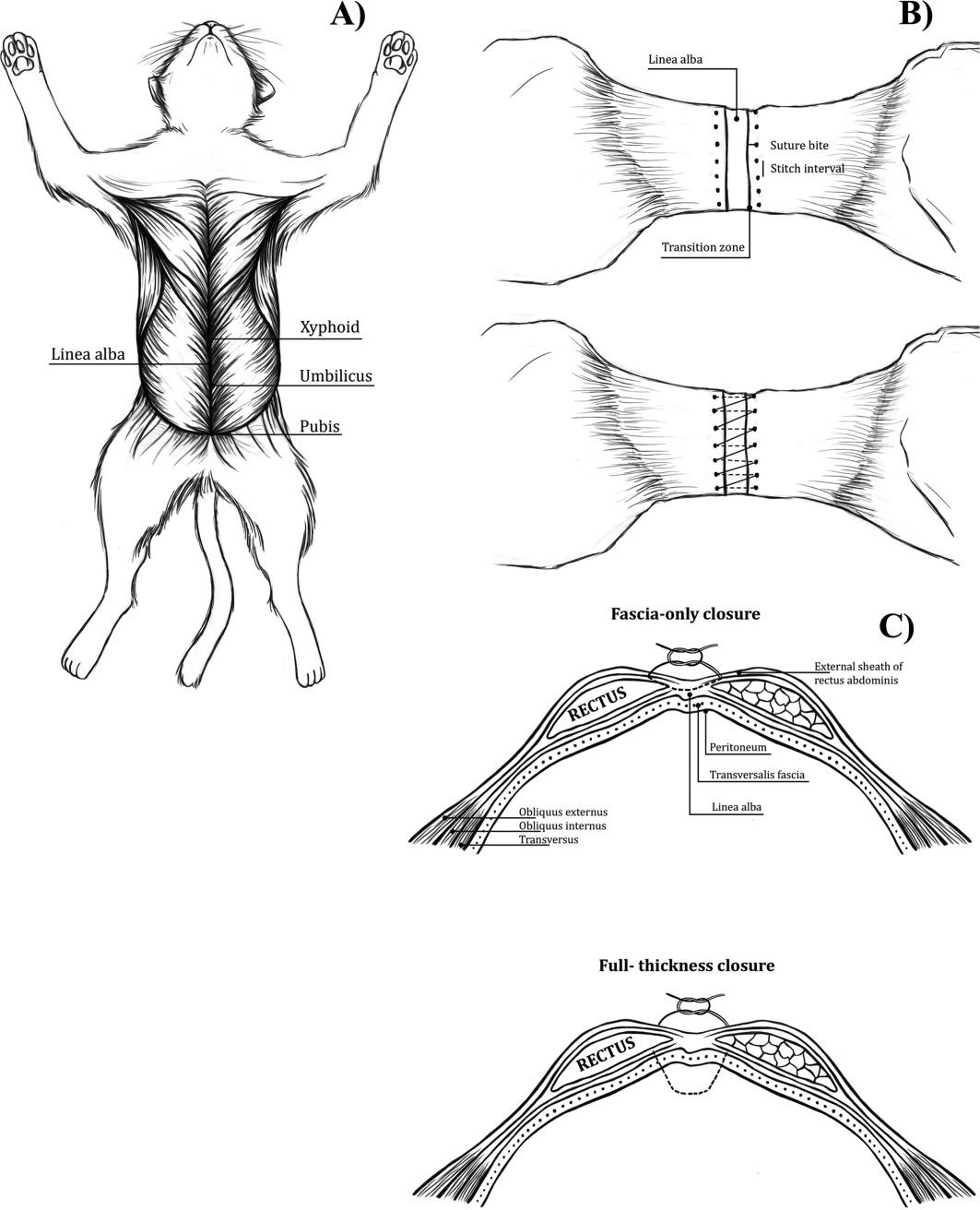 Biomechanical Properties Of Feline Ventral Abdominal Wall