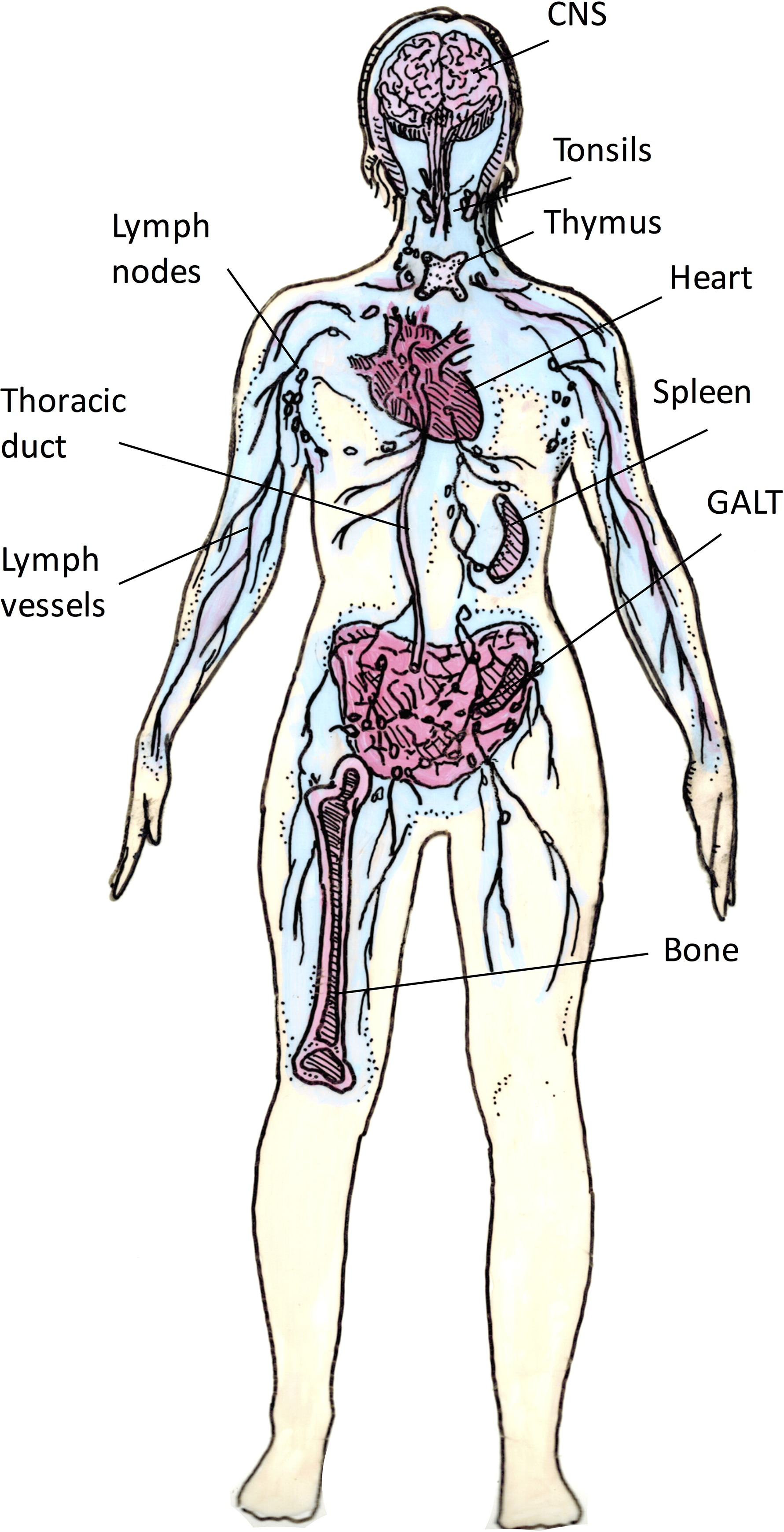 Simple Lymphatic System Diagram Unlabeled