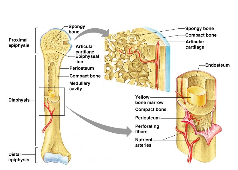 A = epiphysis b = diaphysis c = articular cartilage d = periosteum f = compact bone g = medullary cavity (yellow marrow) h = endosteum j = epiphyseal line (growth plate). Structure and functions of bones - Online Science Notes