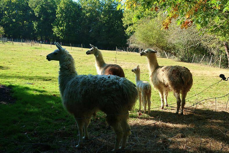 blog lifestyle toulouse lama - Le Parc Animalier Saint Michel