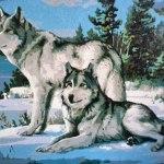 волки6