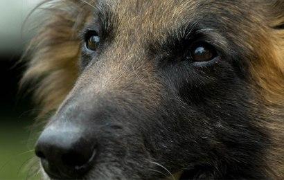 Belgian Tervuren – Dog Breeds
