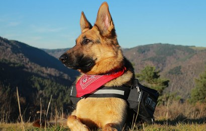 The German Shepherd Dog Breed – Difference Between German Lines and American Lines