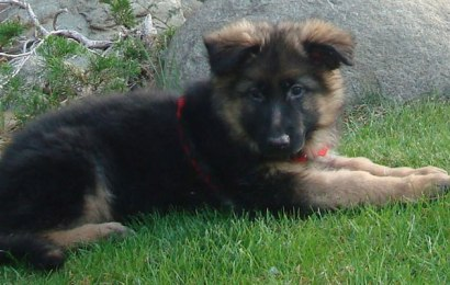 German Shepherd 101 – German Shepherd Puppies