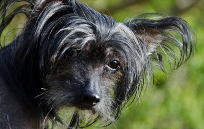 Hairless Dog Breeds – What You Need to Know